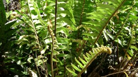 Nephrolepis Photo Download
