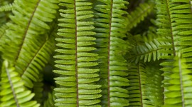 Nephrolepis Wallpaper For IPhone