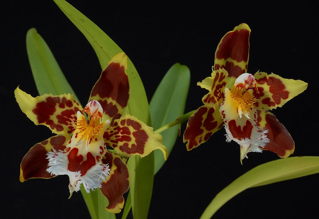 Odontoglossum wallpapers HD