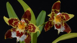 Odontoglossum Best Wallpaper