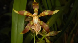 Odontoglossum Desktop Wallpaper For PC