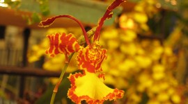 Odontoglossum Photo Download