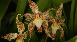 Odontoglossum Photo Free
