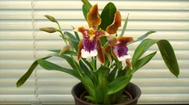 Odontoglossum Wallpaper For Desktop