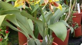 Odontoglossum Wallpaper For IPhone Free