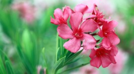 Oleander Best Wallpaper
