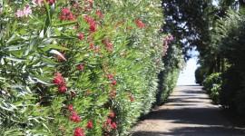 Oleander Photo Free