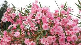 Oleander Wallpaper 1080p