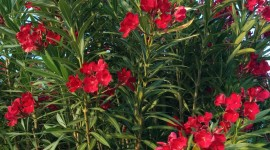 Oleander Wallpaper For Android