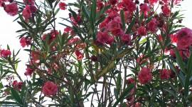 Oleander Wallpaper For IPhone