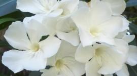 Oleander Wallpaper For Mobile