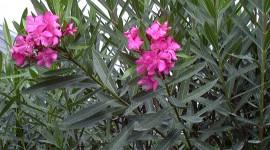 Oleander Wallpaper Free