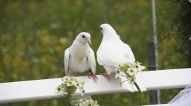 Wedding Pigeons Desktop Wallpaper For PC