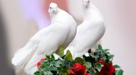 Wedding Pigeons Desktop Wallpaper HD