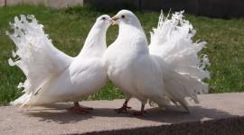 Wedding Pigeons Photo Download