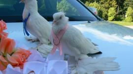 Wedding Pigeons Photo Download#1