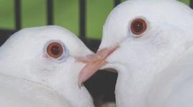 Wedding Pigeons Photo#1