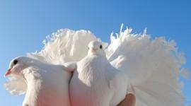 Wedding Pigeons Wallpaper