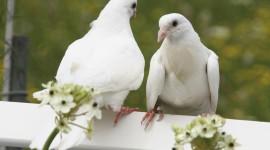 Wedding Pigeons Wallpaper Free