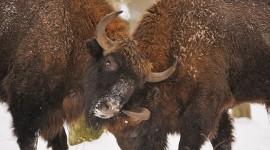 4K Bison Photo