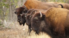 4K Bison Photo Download