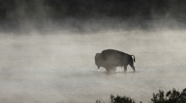 4K Bison Photo Free