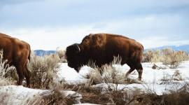 4K Bison Photo Free#1