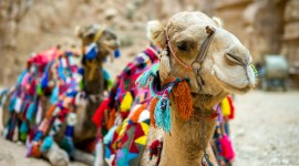 4K Camel Best Wallpaper