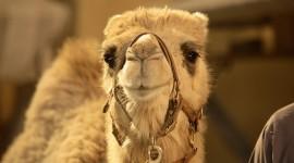 4K Camel Photo