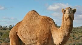 4K Camel Photo Free