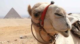 4K Camel Wallpaper Download