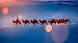 4K Camel Wallpaper For Desktop