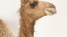 4K Camel Wallpaper For Mobile