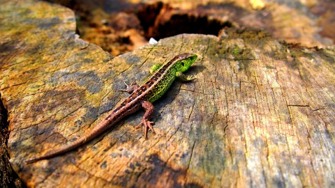 4K Monitor Lizard wallpapers high quality