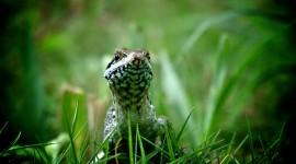 4K Monitor Lizard Photo Free