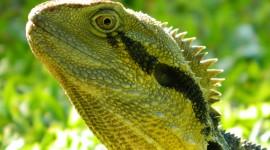 4K Monitor Lizard Photo Free#2
