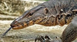 4K Monitor Lizard Photo#3