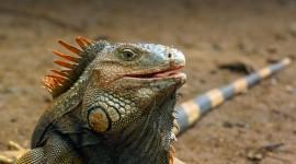 4K Monitor Lizard Wallpaper 1080p