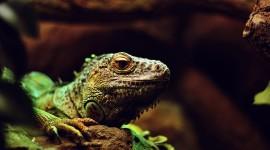 4K Monitor Lizard Wallpaper Full HD