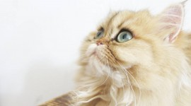 Cat's Eyes Wallpaper Gallery