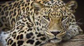 Cheetah 4K Desktop Wallpaper For PC