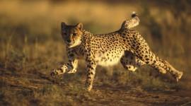 Cheetah 4K Desktop Wallpaper HQ