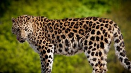 Cheetah 4K Photo Download