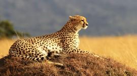 Cheetah 4K Wallpaper 1080p