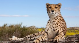 Cheetah 4K Wallpaper Download Free