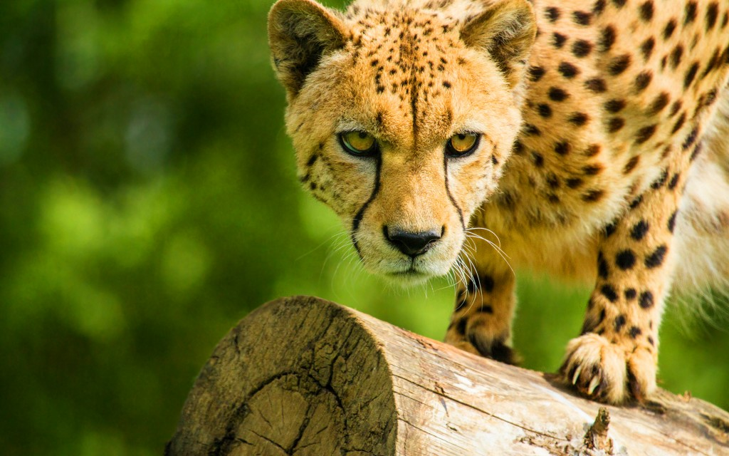 Cheetah 4K wallpapers HD