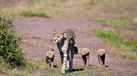 Cheetah 4K Wallpaper HQ