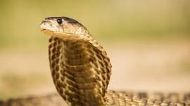 Cobra Photo Download