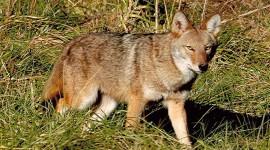 Coyote Photo Free