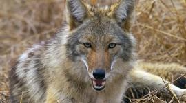 Coyote Wallpaper